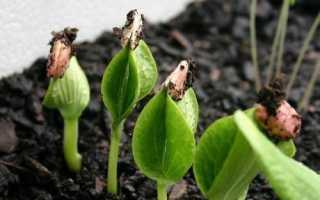 Всходы тыквы через сколько дней прорастают семена