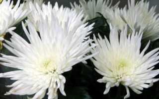 Хризантема Анастасия одноголовая белая зеленая желтая