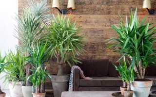 Пересадка пальмы в другой горшок правильный подход что делать с большой пальмой