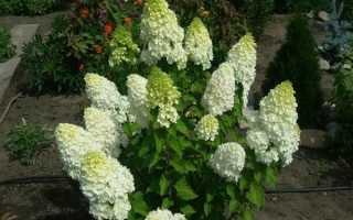 Гортензия Полар Бир фото и описание цветение посадка и уход высота