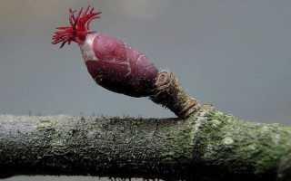 Лещина Пурпуреа как размножить посадка и уход