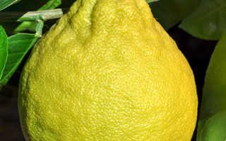 Лимон Юбилейный описание сорта уход в домашних условиях фото