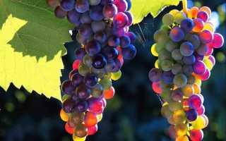 Удобрения для винограда осенью — когда и чем удобрять