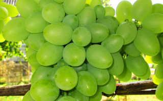Виноград подарок запорожью описание сорта