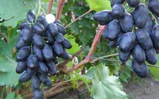Виноград Велика описание сорта особенности выращивания