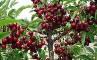 Посадка вишни в июне летом пошаговая инструкция