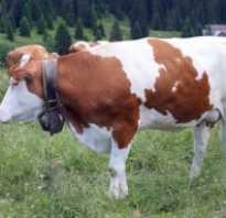 Болезни суставов у коров и телят: опухшие