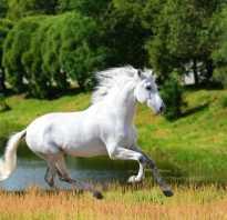 Андалузская лошадь происхождение породы особенности ухода и разведения