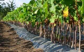 Когда лучше сажать виноград: весной или осенью