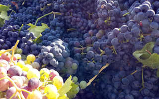 Сорт винограда узбекистан описание крупноплодного сорта