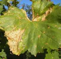 Появление коричневых листьев на винограде