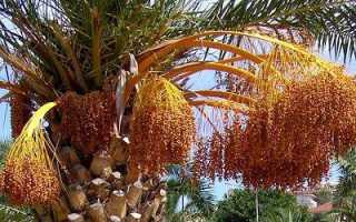 Финиковая пальма из косточки в домашних условиях когда созревают