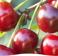 Основные болезни и вредители вишни и методы борьбы с ними
