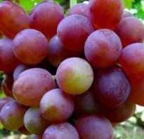 Виноград Блестящий описание сорта особенности выращивания