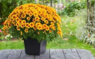 Уход за хризантемами осенью подготовка к зиме: укрытие, как сохранить, что делать