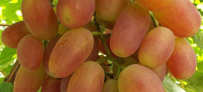 Виноград сенсация: описание сорта