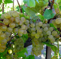 Виноград кристалл описание сорта