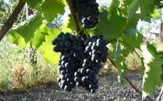 Универсальный сорт винограда Мускат Голодриги — Сорта винограда, Универсальные