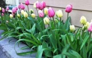 Цветок тюльпан: посадка и уход, фото, выращивание, когда сажать и выкапывать