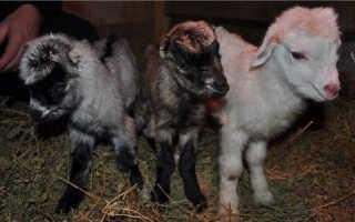 Козы попроды Ламанча (Испанские): описание, характеристика, фото