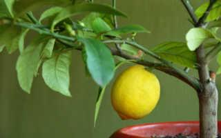 Чем подкормить лимон в домашних условиях во время плодоношения какие удобрения