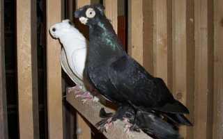 Голуби турманы: описание породы, фото