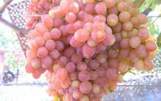 Сорт винограда туз бордо описание