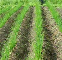 Выращивание лука из севка в открытом грунте, подготовка к посадке