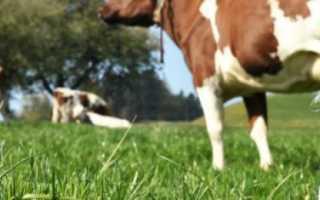 Молочные породы коров характеристики виды как выбрать