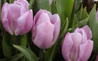 Тюльпан Кэнди Принц: описание и выращивание сорта