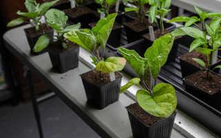 Как высаживать баклажаны расстояние между растениями