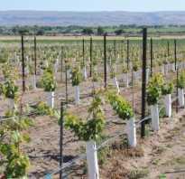 Заложить виноградник своими руками дизайны