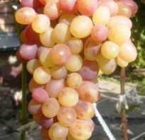 Виноград Тасон описание сорта фото