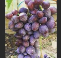 Сорт винограда красавица: описание сорта