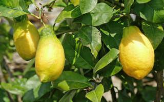 Лимон Лунарио описание сорта выращивание в домашних условиях