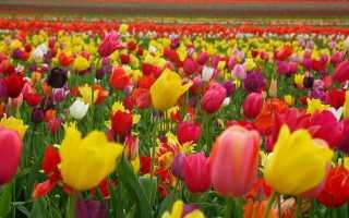 Фиолетовые тюльпаны — Все цветы
