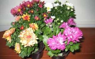 Тля на хризантеме как избавиться — Цветы365