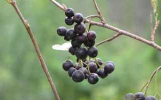 Размножение рябины черноплодной черенками весной