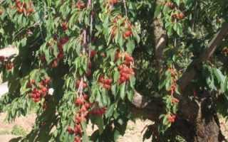 Почему у черешни вишни скручиваются и сохнут листья что делать чем обработать