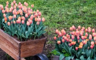 Можно ли сажать тюльпаны весной: в грунт, когда посадить, как правильно посадить