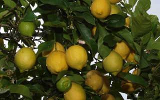 Лимон Эврика описание сорта Пинк