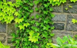 Девичий виноград пятилисточковый посадка уход и выращивание описание и характеристика вида сорта