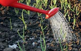 Чем поливать чеснок весной как часто подкормка