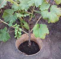 Виноград Гала  : характеристики, описание сорта, фото   Все о посадке и выращивании