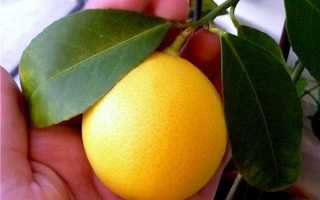 Гибрид лимона и апельсина название фото
