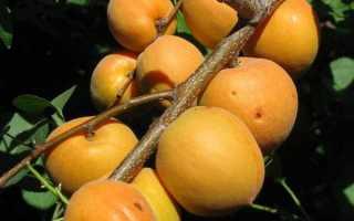 Описание сорта абрикос «Манитоба» — Sam-Village