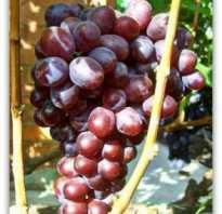 Виноград сенатор описание преимуществ сорта