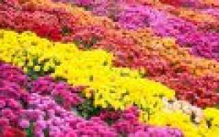 Хризантемы многолетние садовые кустовые низкорослые