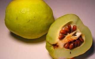 Как вырастить айву из косточки в домашних условиях посадка семенами из семечки