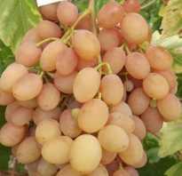 Виноград самба описание сорта фото отзывы — Мир цветов